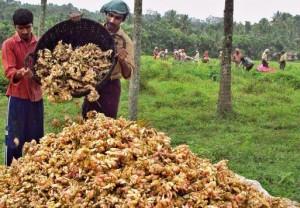 Plantatie de ghimbir din India