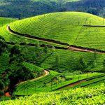 Darjeeling, taramul magic al ceaiului