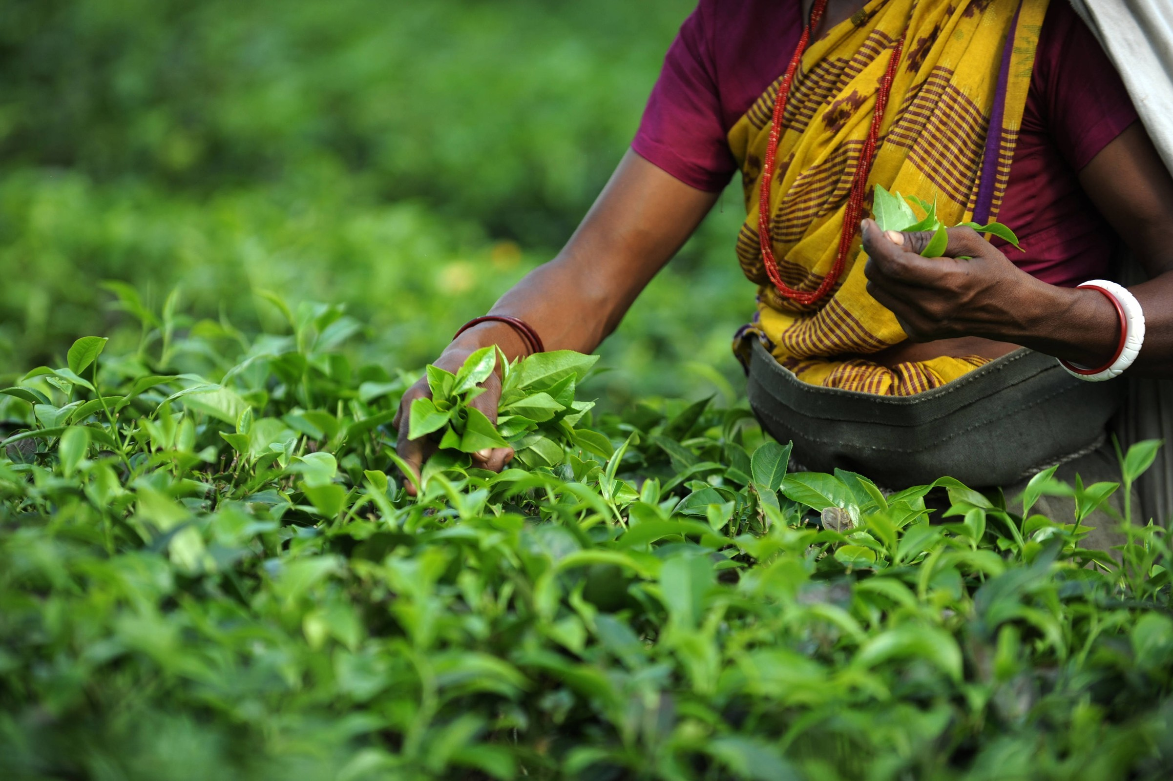 Indian tea garden workers pluck tea leav