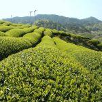 Fa cunostinta cu ceaiul verde sencha!