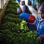 Africa şi culturile de ceai