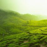 """Ce înseamnă """"terroir"""" și cum influențează gustul ceaiului"""