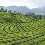 Află povestea ceaiului negru Ceylon!